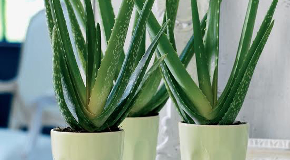 Aloë Vera Planten Set Van 3 Of 6